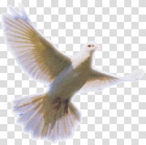 white fantail pigeon , Columbidae Holy Spirit Doves as symbols, Dove PNG