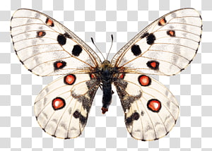 Butterfly Apollo Moth, butterfly PNG