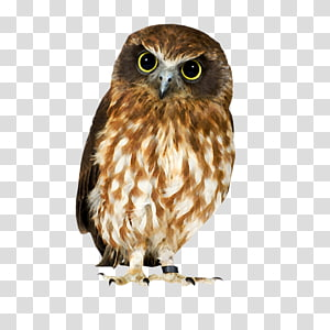 Owl Hawk Strix newarensis Falcon Our Feathered Friends, Owl PNG