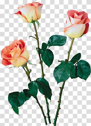 Beach rose Garden roses Cut flowers Multiflora rose, flower PNG