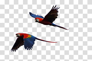 Parrot Bird Scarlet macaw Budgerigar, parrots PNG clipart