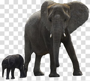 Asian elephant African forest elephant, creatures PNG