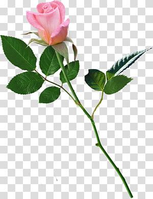 Garden roses Centifolia roses Flower Love, flower PNG clipart