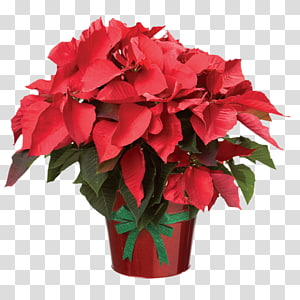 Poinsettia Flower Christmas , flower PNG