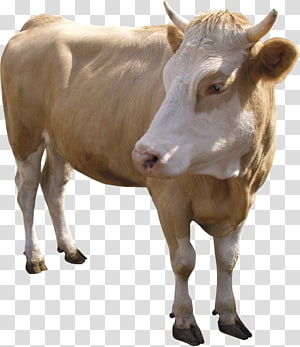 Dairy cattle Calf Jersey cattle Normande Beef cattle, goat PNG