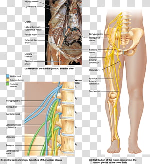 Hip Ventral ramus of spinal nerve Spinal cord, others PNG