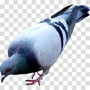 Columbidae Domestic pigeon Bird Colombe, Bird PNG