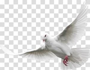white dove, Dove PNG