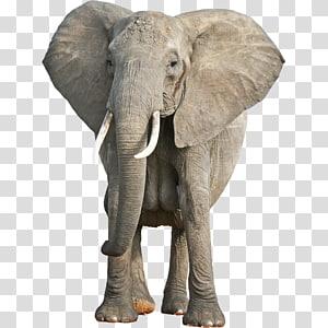 Asian elephant African bush elephant Animal cognition World Elephant Day, TOY ELEPHANT PNG