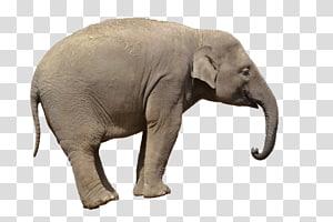 African bush elephant Asian elephant , cute elephant PNG