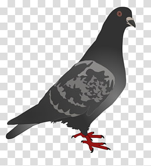 Homing pigeon English Carrier pigeon Columbidae Bird , peace pigeon PNG