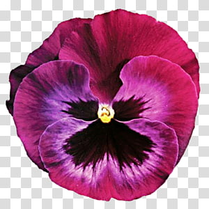 Pansy Flower Violet , purple watercolor PNG