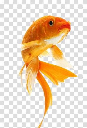 cute goldfish PNG clipart
