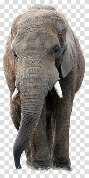 African bush elephant Asian elephant African forest elephant, elephants PNG