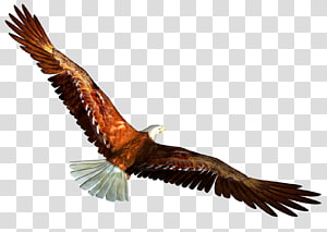 Eagle , free PNG clipart