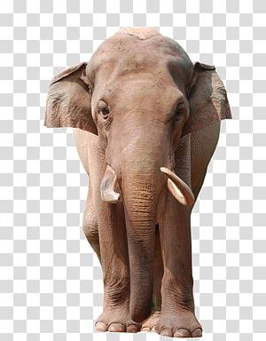 Asian elephant Animal Wildlife , Elephant PNG