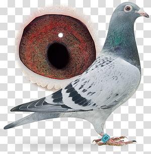 Homing pigeon Racing Homer Fancy pigeon Bird Pigeon racing, pigeon dangling ring PNG