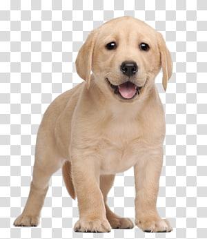 Labrador Retriever Puppy Yorkshire Terrier , puppy PNG