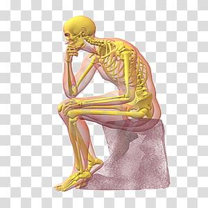 Homo sapiens Fundamentals of Anatomy and Physiology Human skeleton Human body, Skeleton PNG