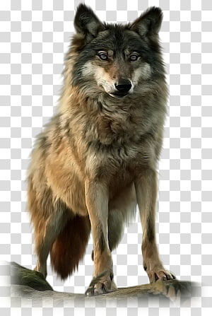 Dog Native Americans in the United States Pack Black wolf American Wolf A True Story of Survival and Obsession in the West, Dog PNG