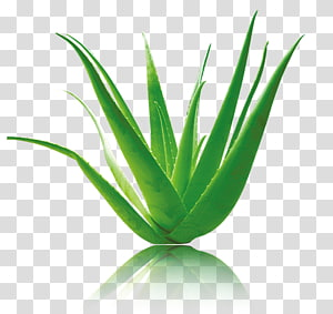 green aloe vera, Aloe vera Green, Green aloe vera material PNG clipart