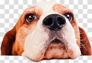 Beagle Pet sitting Puppy Dog daycare, puppy PNG