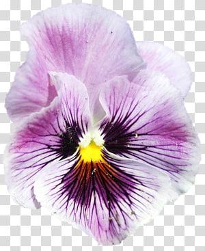 Pansy Violet, violet PNG clipart
