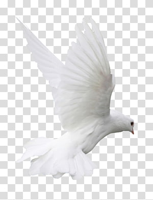 Columbidae Beak Water bird Domestic pigeon, Bird PNG clipart