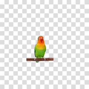 Lovebird Finch Parakeet Beak Feather, parrot PNG