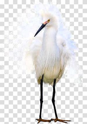 Egret White stork, others PNG