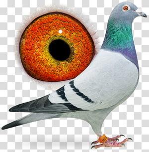 Racing Homer Homing pigeon Columbidae Beak Bird, pigeon dangling ring PNG clipart