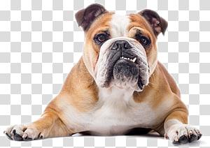 French Bulldog Toy Bulldog Dorset Olde Tyme Bulldogge White English Bulldog, Wild Dog PNG