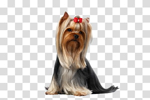 adult black and gold Yorkshire terrier , Yorkshire Terrier Puppy Pet Maltese dog, groom PNG