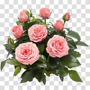 Garden roses Cabbage rose Memorial rose Floribunda West Dekora Street, flower PNG clipart
