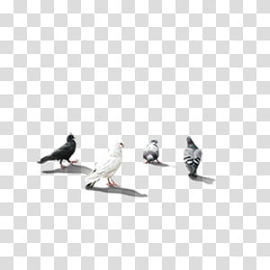 Rock dove Columbidae PIGEON CORPORATION, pigeon PNG