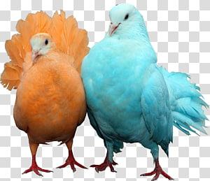 Homing pigeon Bird Typical pigeons Columbidae , DOVE PNG