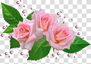 Garden roses Cabbage rose Cut flowers Floral design, flower PNG