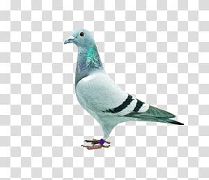 Homing pigeon dove Columbidae , pigeon PNG