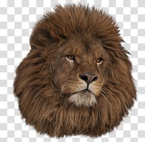 East African lion Ragdoll Animal , lion head PNG
