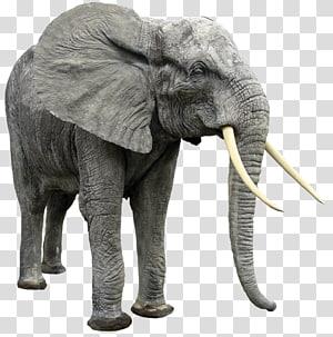 African bush elephant Indian elephant African forest elephant, Elephant PNG