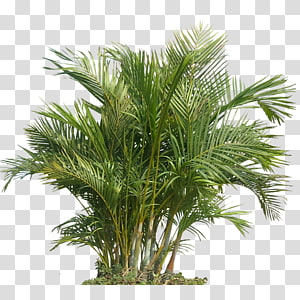 Palm trees Houseplant Plants Portable Network Graphics Tropics, plants PNG clipart