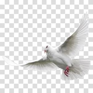 flying white dove, Columbidae Domestic pigeon Bird , White Pigeon PNG