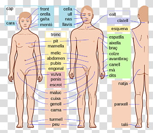 Human Body Parts Human anatomy Homo sapiens, arm PNG clipart