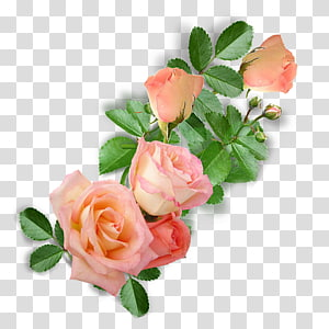 Garden roses Cabbage rose Floribunda Floral design Cut flowers, flower PNG clipart
