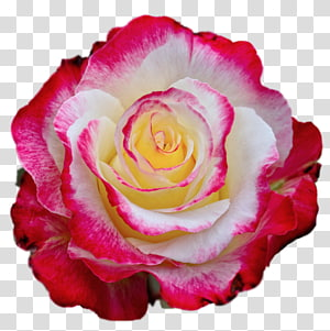red rose, Rose Color , Colorful Rose PNG