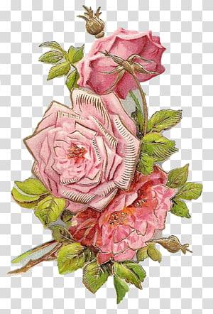 Garden roses Cut flowers Floral design Centifolia roses, flower PNG