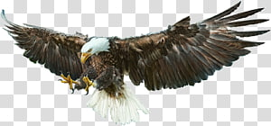 Bald Eagle Bird Drawing, Bird PNG