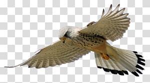 Bird Animaatio Gfycat Smiley, Eagles Fly PNG clipart