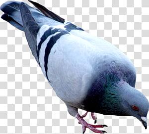 Oriental Roller Domestic pigeon, pigeon PNG