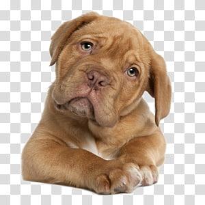 red French mastiff puppy, Dogue de Bordeaux English Mastiff Perro de Presa Canario Tibetan Mastiff Puppy, dogs PNG